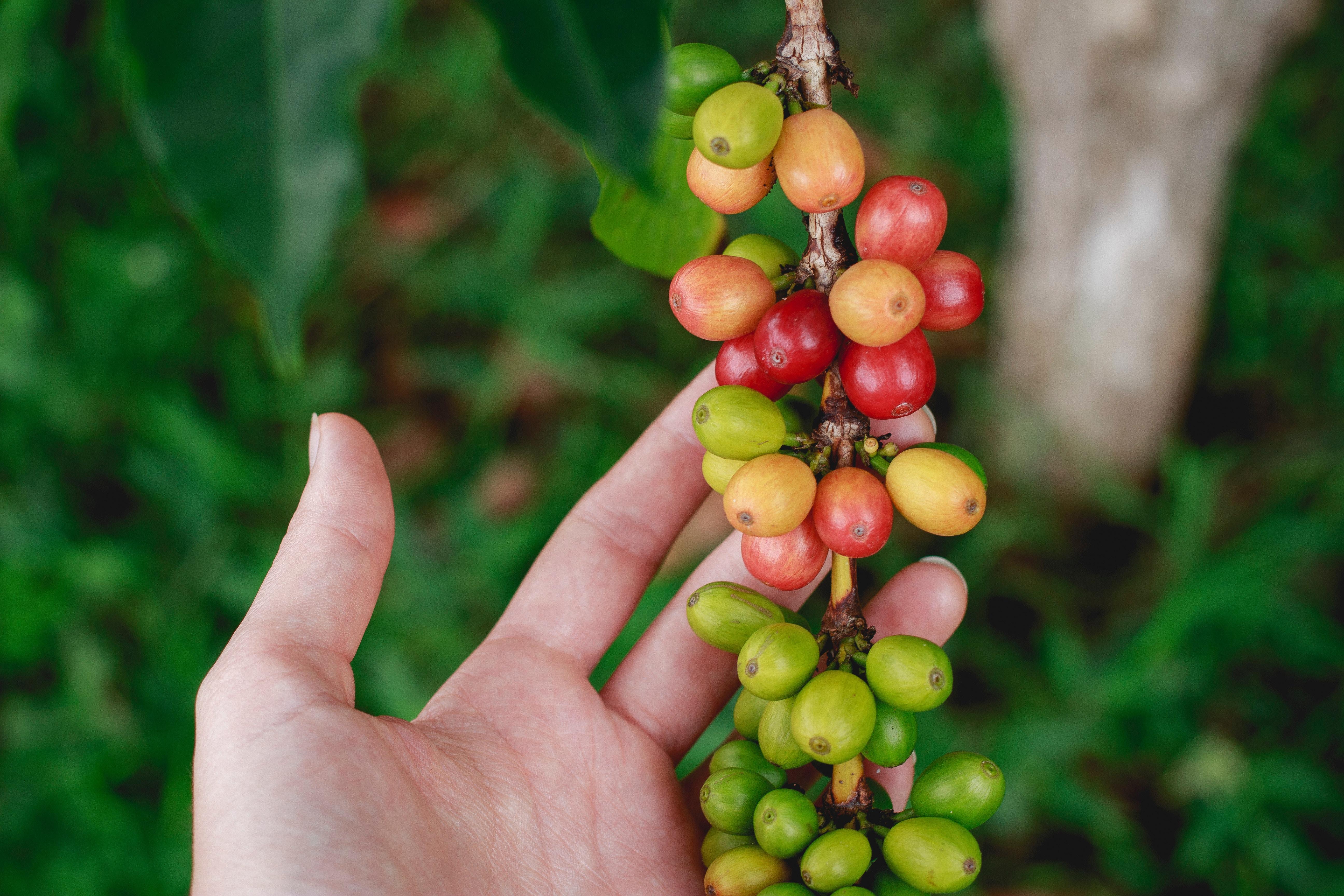 淺談肯亞咖啡分級制度,究竟 AA TOP 與 AB TOP 差在哪?