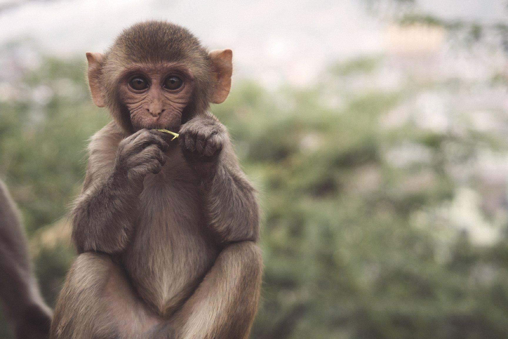 你聽過麝香貓咖啡,但你一定不知道猴子咖啡