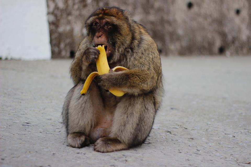猴子吃香蕉(圖片來自unsplash