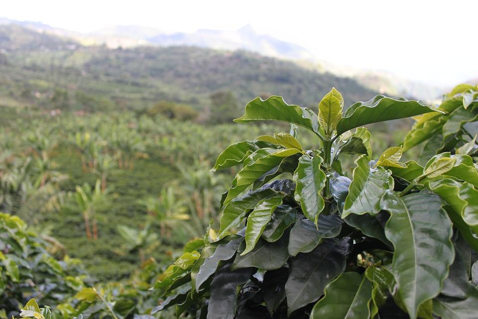 哥倫比亞咖啡樹