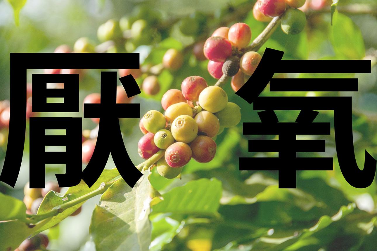 【咖啡處理法】你知道咖啡豆的厭氧發酵處理法 ,其實是參考葡萄酒嗎?