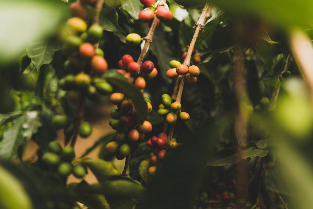 咖啡樹上的咖啡果實