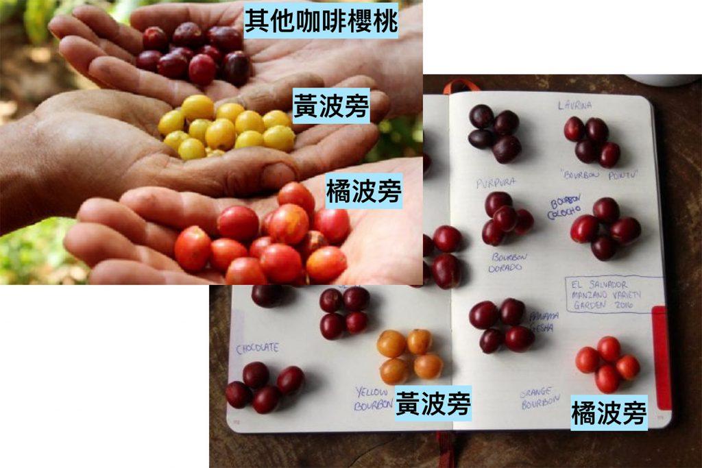 波旁咖啡豆-咖啡櫻桃-紅波旁-粉紅波旁-橘波旁-黃波旁-精品咖啡-咖啡豆-咖啡市集-CoffeeMart-台灣-香港-澳門