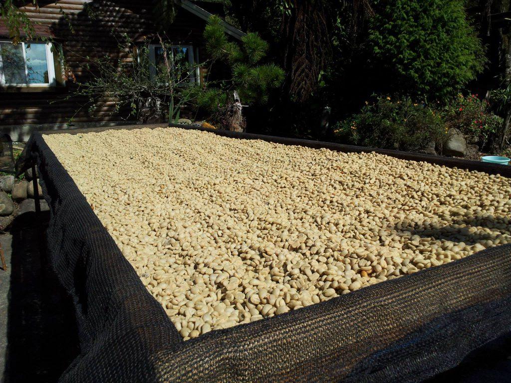 鄒築園-日曬咖啡豆-處理法