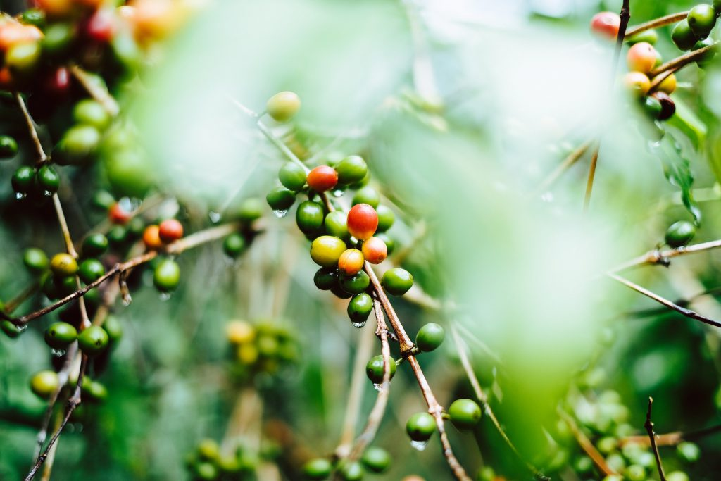 咖啡豆 瓜地馬拉 咖啡 精品咖啡 單品咖啡
