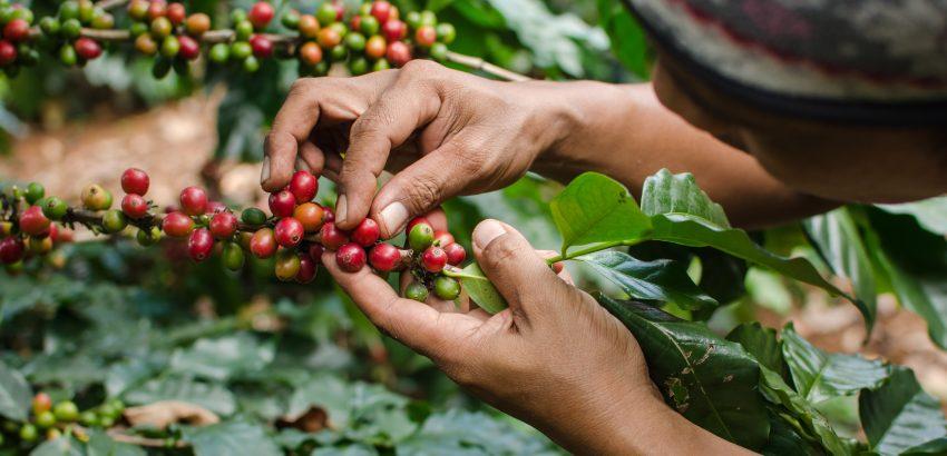 咖啡,精品咖啡,咖啡田,手沖咖啡,處理法,莊園咖啡