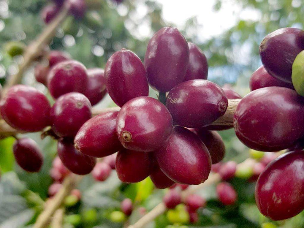 卡杜拉,紫卡杜拉,精品咖啡,哥倫比亞咖啡豆